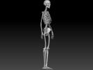 人体骨架 骷髅