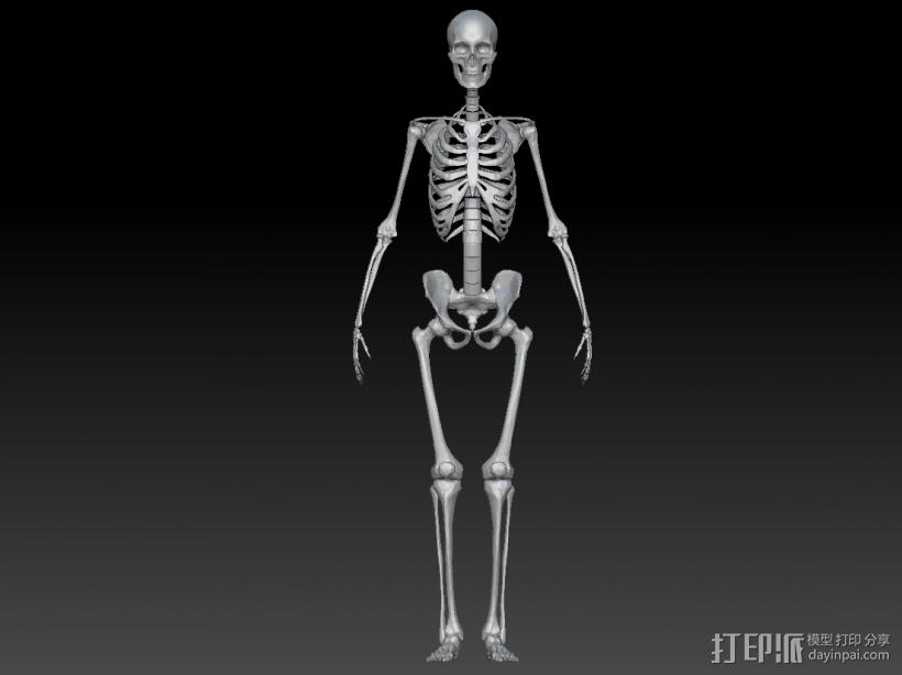 人体骨架 骷髅 3D打印模型渲染图