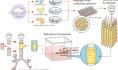 日本研究人员无支架3D生物打印气管成功移植到大鼠