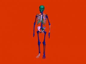 彩色人体骨头架子