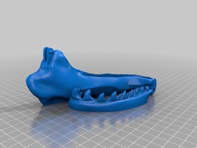 巴哈马锤头鲨头骨